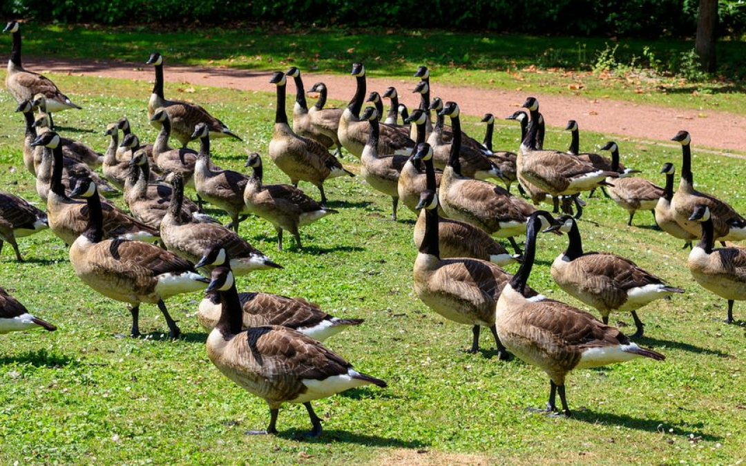Canada Geese In Your Neighborhood