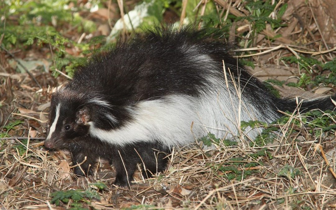 Gardener's Best Friend – Master of Pest Control: The Skunk!