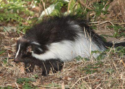 Gardener's Best Friend - Master of Pest Control: The Skunk!