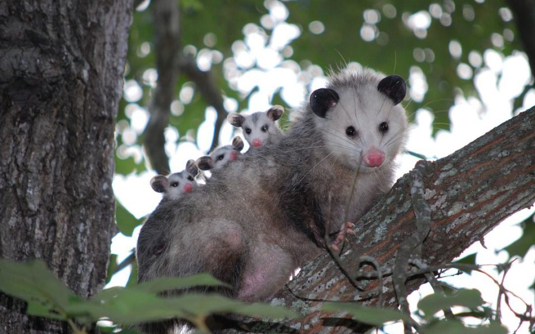 The Opossum: Our Marvelous Marsupial, The Social Loner