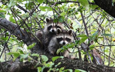 Raccoons — Facts and Fancies