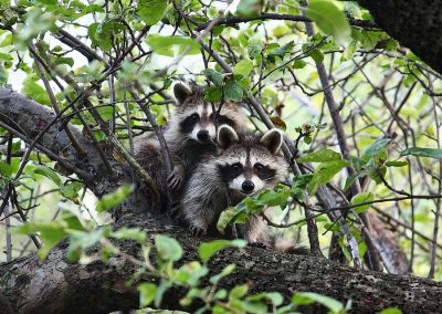 Raccoons -- Facts and Fancies