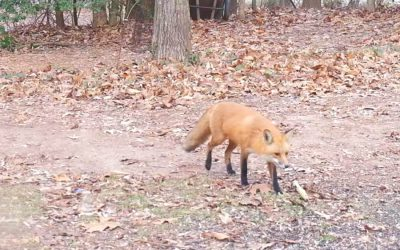 Fox Sightings During the Day: To Call or Not to Call?