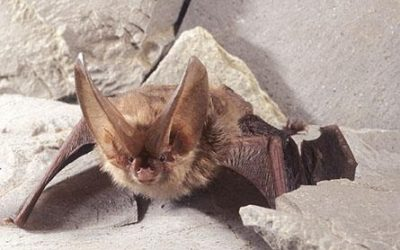 Endangered Species of Bats in Virginia