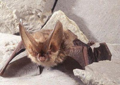Endangered Species of Bats in Virginia