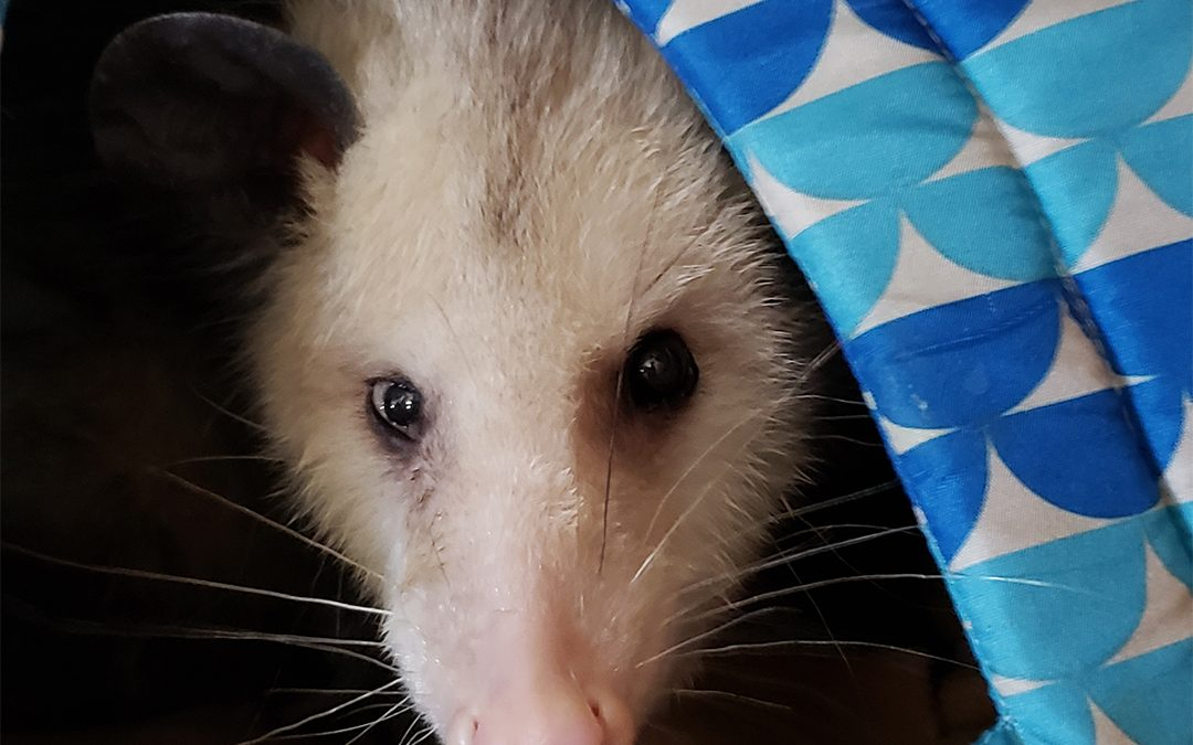Meet Lou Lou the opossum