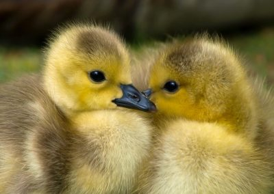 Baby geese - transporter tales