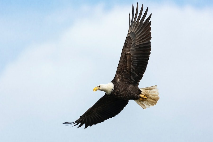 Lead Poisoning Continues to Threaten Bald Eagles in Northern Virginia