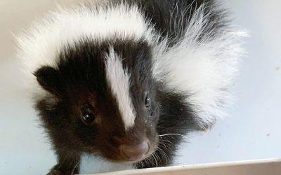 A Little Bit About Skunks